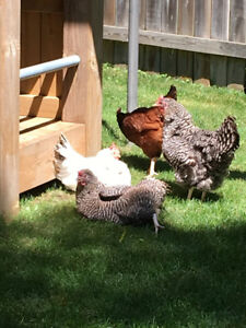 4 Free Hens (Chickens)