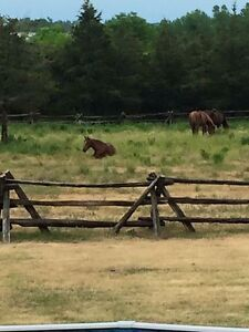 Beautiful mare available for on property lease Kingston Kingston Area image 4