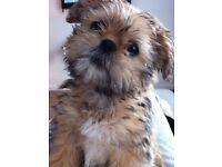 18 week old pug X shih tzu puppy