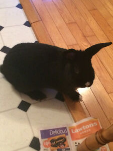 FREE 4 year old mini Rex Rabbit