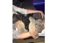 Shar pei pups for sale 🐶