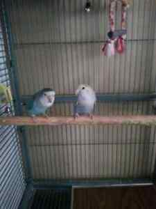 Male and Female Lovebirds and Huge Cage Kitchener / Waterloo Kitchener Area image 1