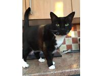 Free black and white cat to good home