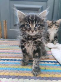 Ragdoll X Tabby Kittens - 3 Boys & 1 Girl