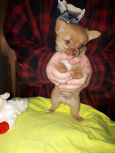 Pom-Chi Puppies For Sale