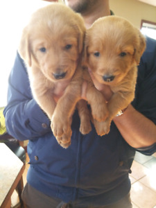 SilverLab/Goldendoodle puppies