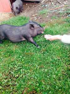 Mini Micro Pigs - ONLY 3 LEFT Kitchener / Waterloo Kitchener Area image 8