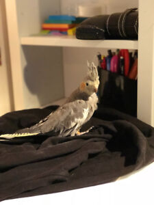 baby cockatiel for sale; cage, toys and food included - $200