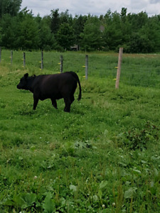 Two Angus Yearling Heifers