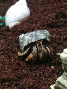 Hermit Crabs with Accessories
