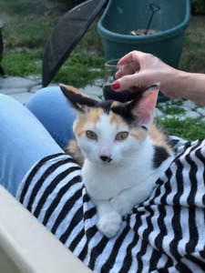 Lost Female Calico Cat in Windsor, Ontario