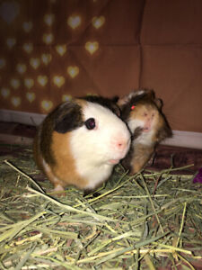 Guinea pigs looking for loving family