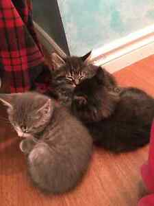 Free kittens looking for new homes! Kawartha Lakes Peterborough Area image 6