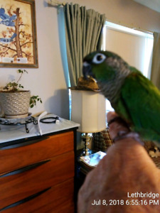 Friendly Conure For Sale