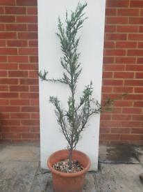 Juniperus tree in pot £10 - ONO