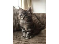 Beautiful Main Coon x boy looking for his new family