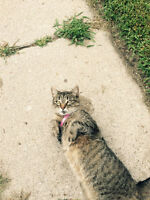 Friendly Stray Cat Needs a Home (Terrace Hill)