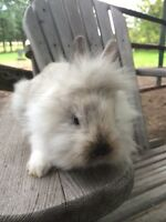 Baby Dwarf Lionhead Bunny, ready to be picked up this weekend :)