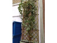 Passion Flower Plant LARGE INSTANT IMPACT