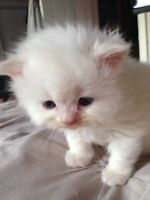 flame/cream point Himalayan male