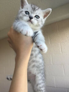 Exotic silver Bengal and Persian mix.