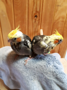 ONLY 2 babies left Male and a Female Precious Pied Cockatiels