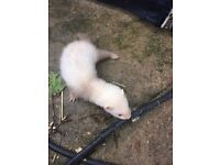 Baby ferrets hobs and gills