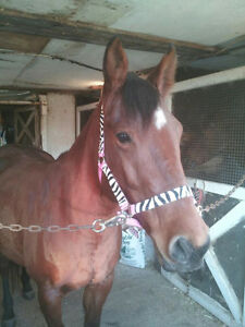 All Around Bay Mare for Sale