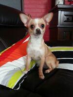 Femelle chihuahua 11 mois poil court