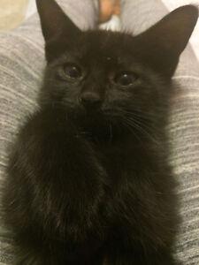 1 Beautiful Siamese X Kitten Left