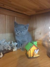 British shorthair kittens for sale.