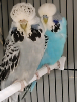 Huge English Budgie Pair Young