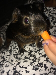 2 Male Guinea pigs looking for their forever home.