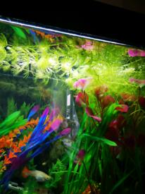 Hornwort aquarium plants