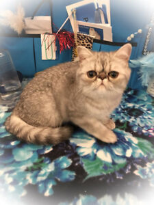 Exotic Shorthair Rare Blue silver tabby kitten