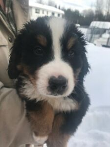 Bernese Puppies looking for Great Homes
