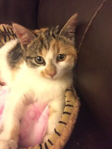 Pregnant beautiful cat free to good home