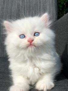 Exceptionnels Persans Chinchillas Doll Face Blancs