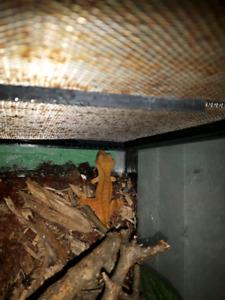 3 Crested Geckos with set up terranium