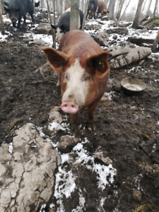 Heritage sow for sale to a good home