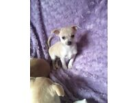 Teacup chihuahua baby girl ready to go to her new home