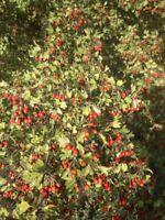 LOOKING FOR  HAWTHORN  SHRUB OR  TREE
