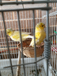 Norwich crested canary & breeding cage