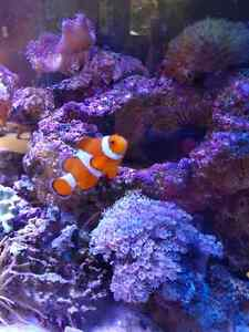 2 Clown fish
