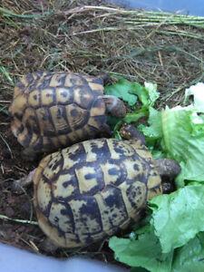 1.1 Senior hermann's tortoises / tortue terrestres d'Hermann