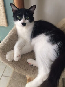 """Female young cat black and white """"CHELSEA"""" London Ontario image 1"""