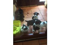Pointer/collie pups for sale