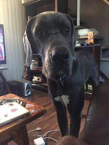 Male Great Dane