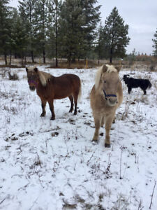 Two Mini Horses for sale