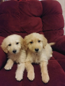 Golden doodle puppies!